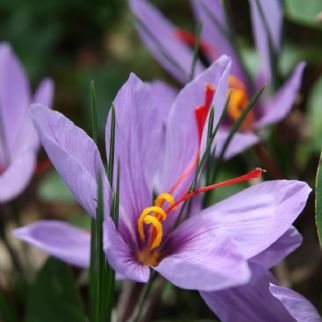 Autumn Crocus Sativus